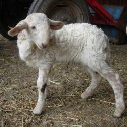 agneau-brigasque-profil