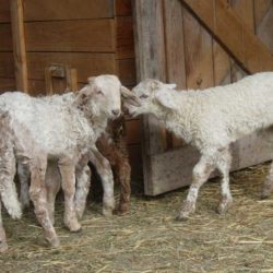agneaux-brigasques