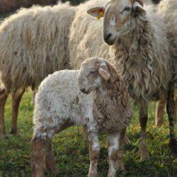 brebis-et-agneau-brigasque-2