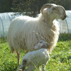 brebis-et-agneau-brigasque