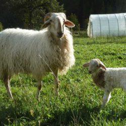 brigasque-agneau